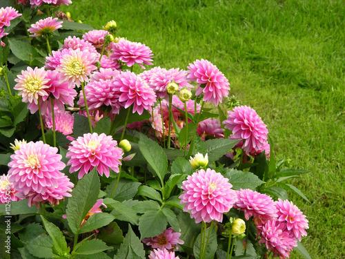 Foto op Canvas Dahlia Rosa blühende Balldahlie im Garten