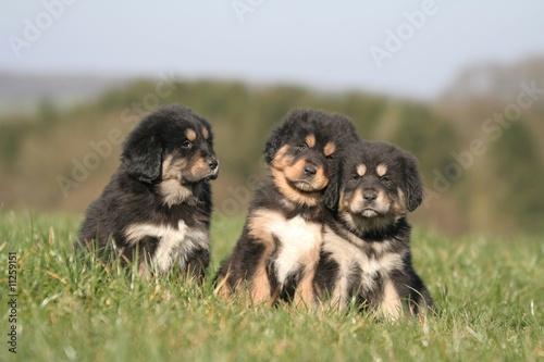 Fotografie, Tablou  trois chiots dogue du tibet se faisant un calin à la campagne