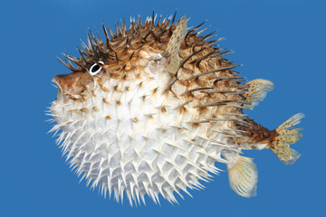 Blow fish side view