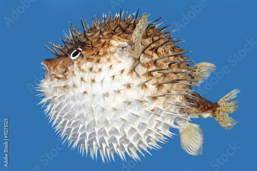 Photo Blow fish side view