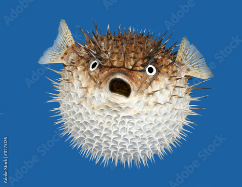 Blow fish frontal view Canvas Print