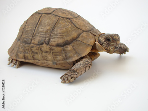Poster Tortue turtle