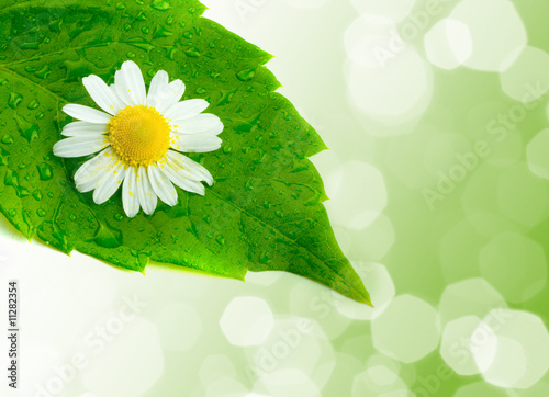 Foto-Duschvorhang - Camomile and leaves.