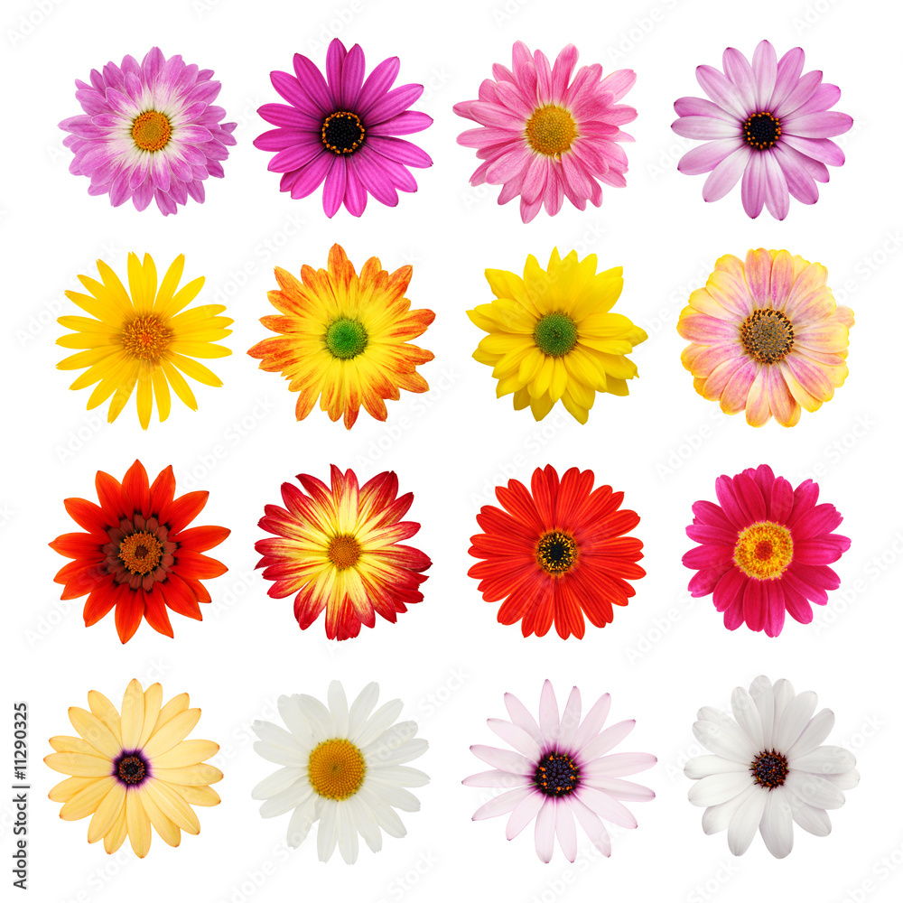 Fotografering  Daisy collection isolated on white with clipping path