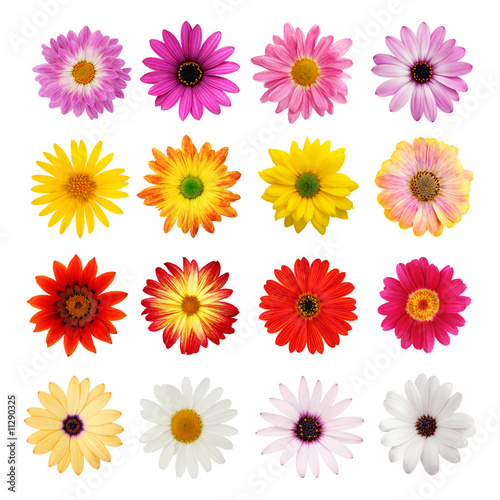 Wall Murals Gerbera Daisy collection isolated on white with clipping path