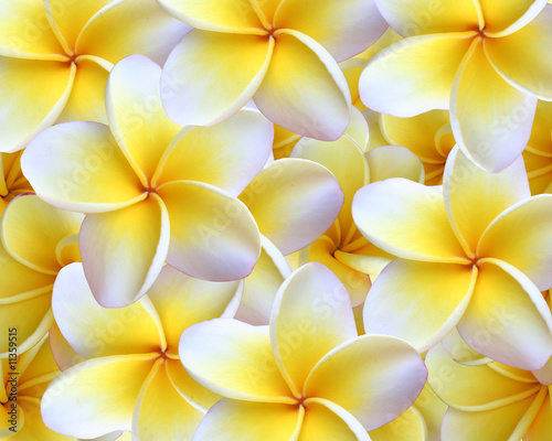 Doppelrollo mit Motiv - Hawaiian Plumeria Background (von thegarden)