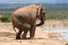 Male Elephant Behaviour