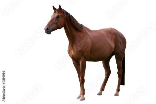 Brown Horse Isolated on White Fototapeta