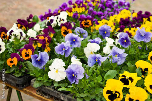 In de dag Pansies Stiefmütterchen, pansies