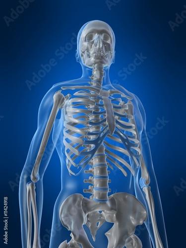 oberkörper eines menschlichen skeletts - Buy this stock illustration ...