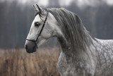 Fototapeta Konie - Grey stallion on field