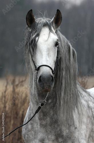 Photo  Grey stallion portrait