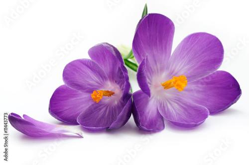 Cadres-photo bureau Crocus Crocus