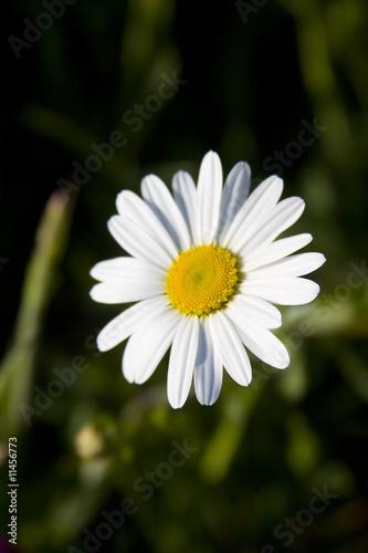 Papiers peints Narcisse Paquerette