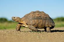Mountain Tortoise (Geochelone Pardalis), South Africa