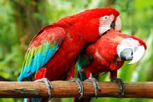 Love Macaw Birds