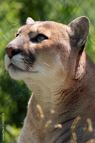 Fotobehang Puma Captivating Cougar