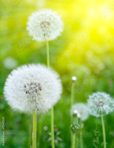 Foto-Kissen - White dandelions on a green background (von gornist)