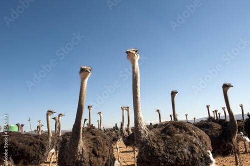 Stickers pour portes Autruche ostrich of South Africa