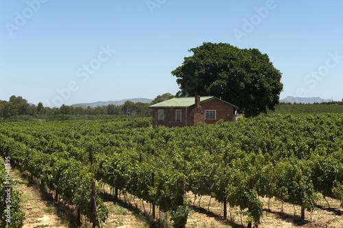 Foto op Canvas Zuid Afrika vineyard in South Africa
