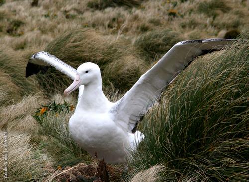 Fototapeta le grand albatros