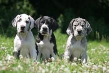 Trois Chiots Dogues à La Camp...