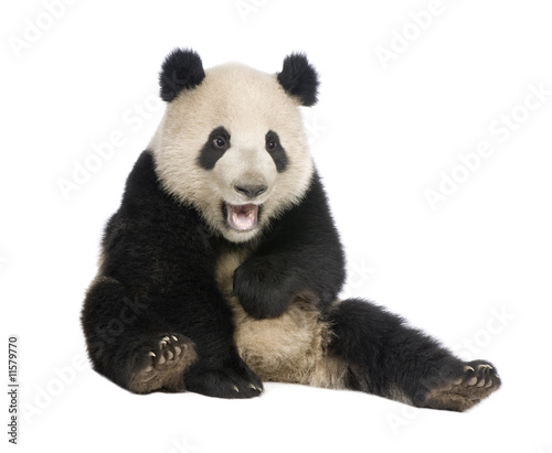 Stickers pour portes Panda Giant Panda (18 months) - Ailuropoda melanoleuca