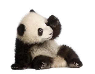 Fototapeta Panda Giant Panda (6 months) - Ailuropoda melanoleuca