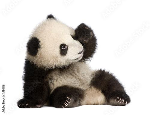 Türaufkleber Pandas Giant Panda (6 months) - Ailuropoda melanoleuca