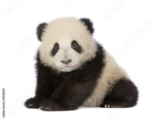 Stickers pour portes Panda Giant Panda (6 months) - Ailuropoda melanoleuca