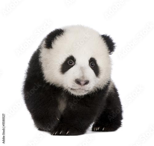 Stickers pour porte Panda Giant Panda (4 months) - Ailuropoda melanoleuca