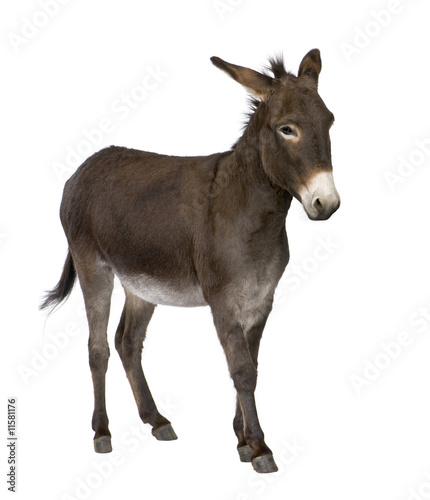 Photographie donkey ( 4 years)