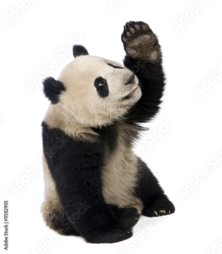 Autocollant pour porte Panda Giant Panda (18 months) - Ailuropoda melanoleuca
