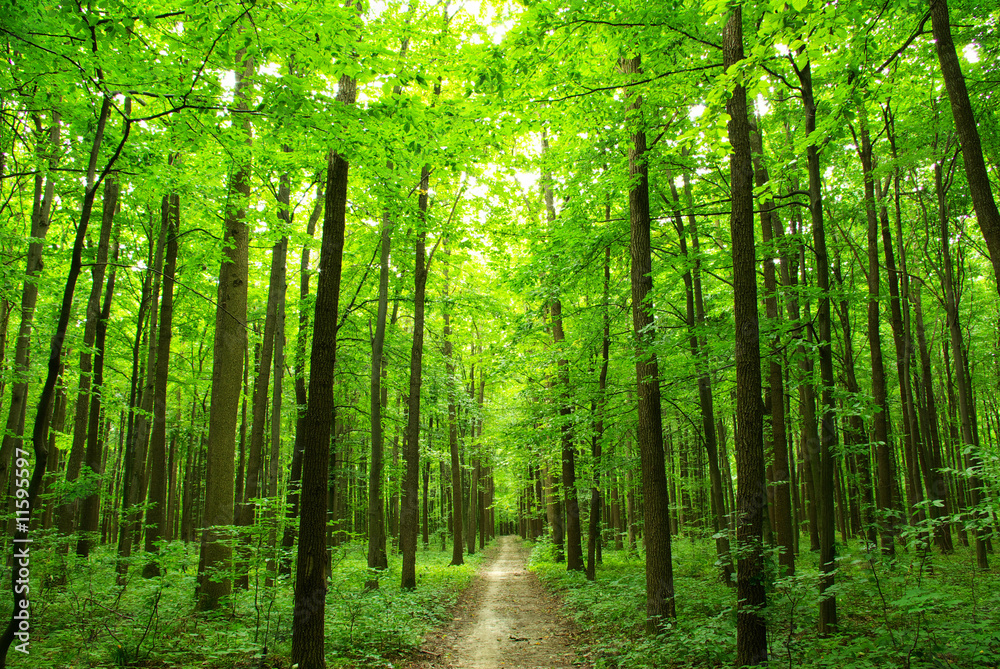 Fototapety, obrazy: Zielony las