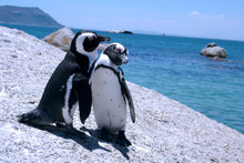Love-birds. Two Penguins At Boulders Beach, South Africa