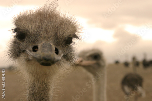 Ostrich. Close-up picture.