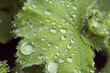 Regentropfen auf Frauenmantelblatt