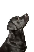 The Dog Black Labrador Looks Upwards. Isolated On White