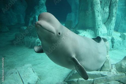 Fototapeta premium Beluga