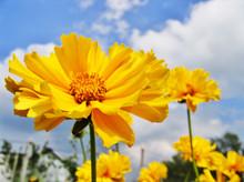 Beautiful Sunny Flowers (Coreopsis Grandiflora)