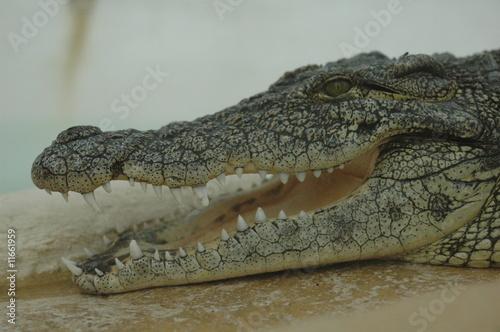 Deurstickers Krokodil croco du nil