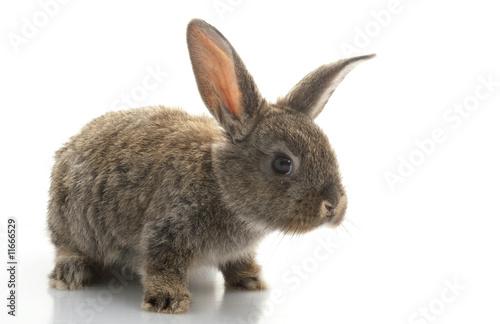 Fotografie, Obraz  Grey Rabbit