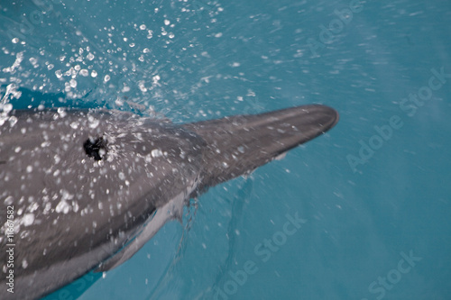 Fotografie, Tablou Spinner Dolphin Takes a Breath 2
