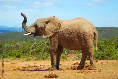Afrikanischer Elefant Canvas Print