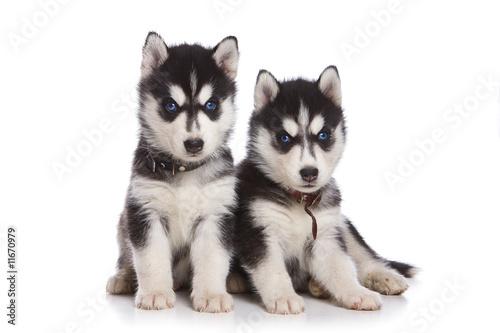 siberian-husky-szczeniak-na-bialym-tle