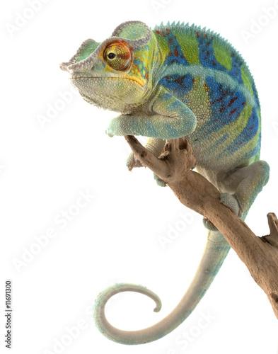Stickers pour porte Cameleon Ambanja Panther Chameleon
