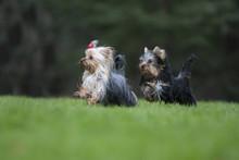 Deux Yorkshire Terriers Jouant...