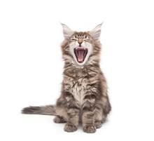 Yawning Maine Coon Kitten