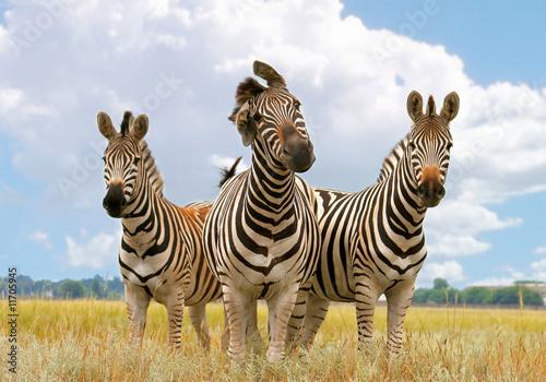 Poster Zebra zebra, landscape