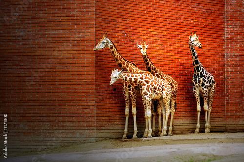 Obraz Cztery żyrafy przy ścianie - fototapety do salonu